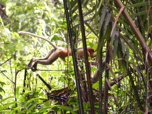 """BRUNEI_Mangrove-river-safari_Proboscis-monkey_12"""""""""""