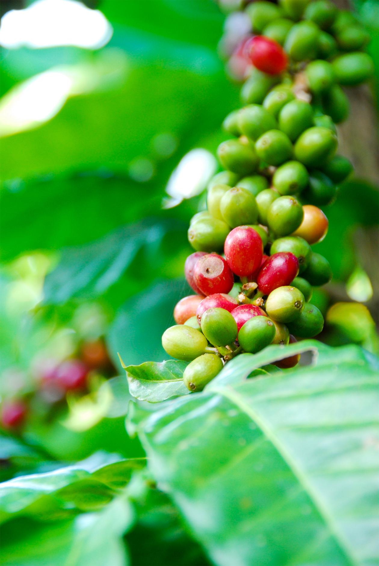 コナコーヒー農園