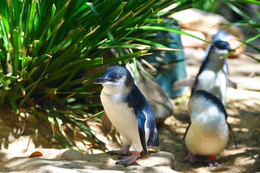 フィリップ島のペンギン