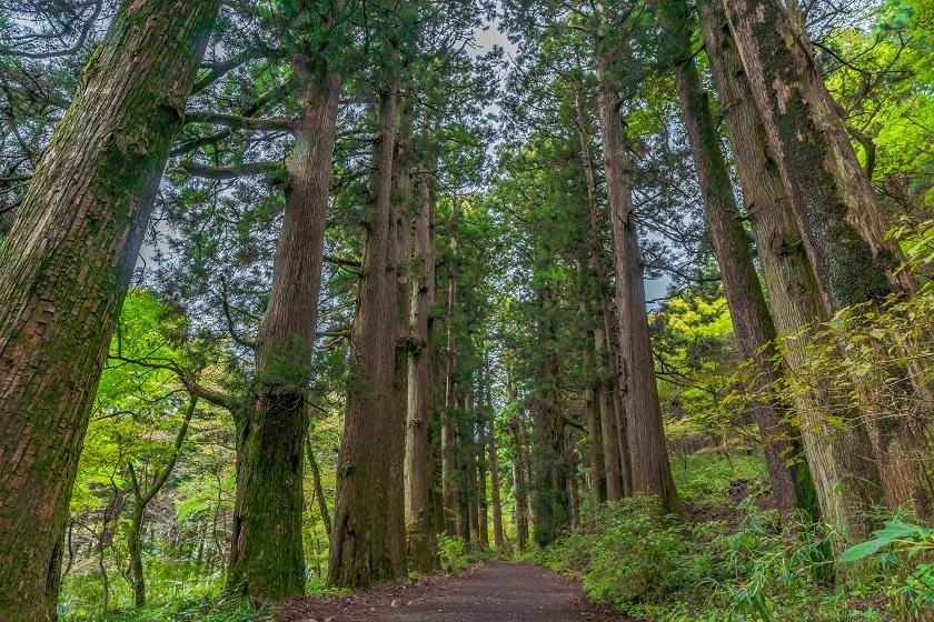 元箱根旧街道杉並木