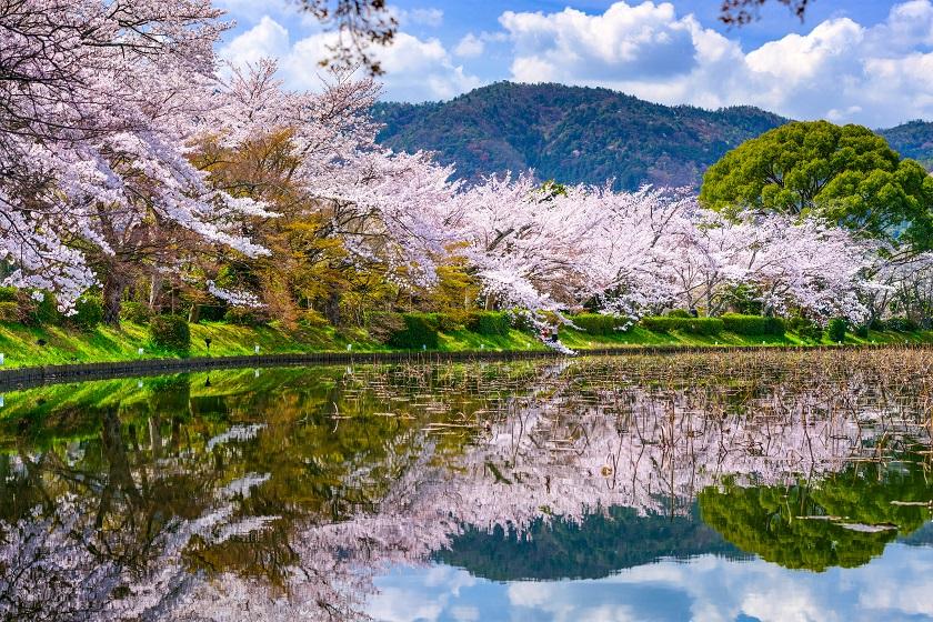 桜が美しい大覚寺